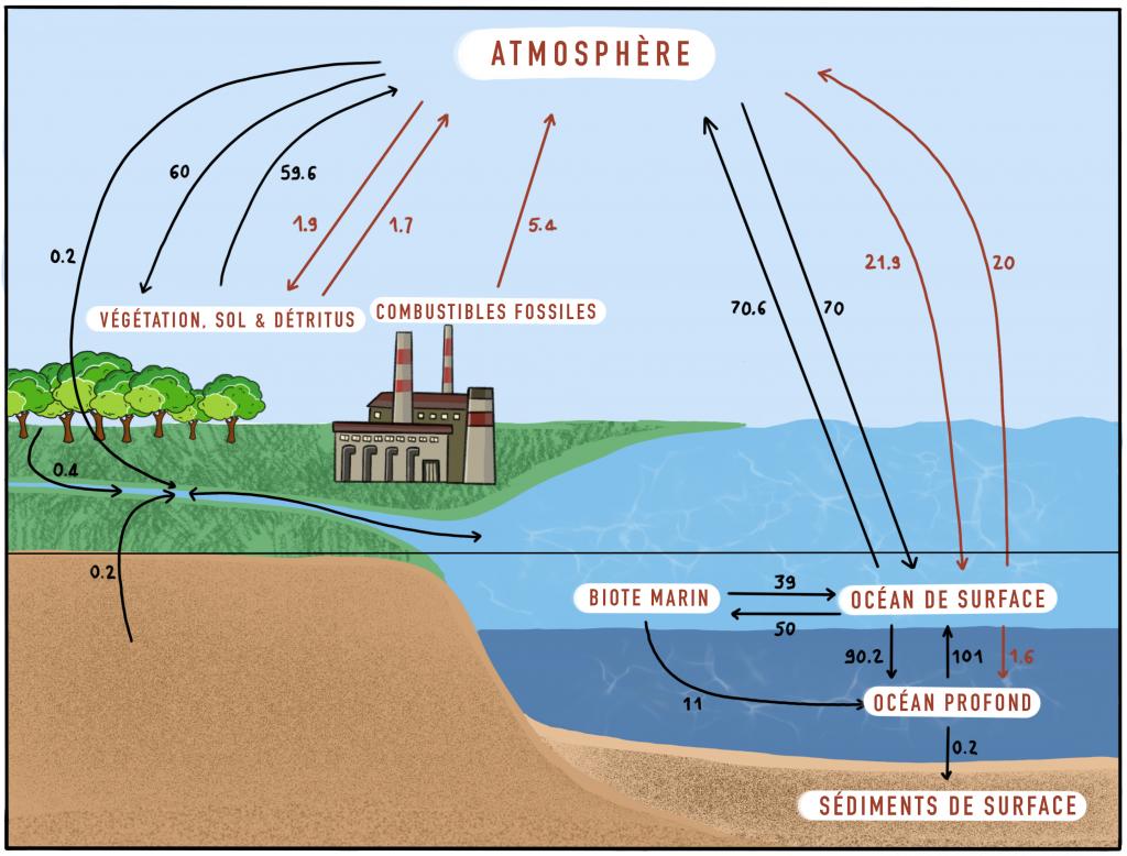 Schéma du cycle biologique du carbone