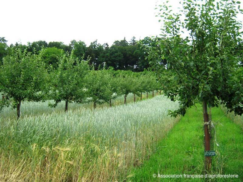 Agroforesterie pruniers et céréales